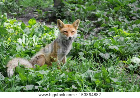 Young red fox sitting on grass and stare ahead.