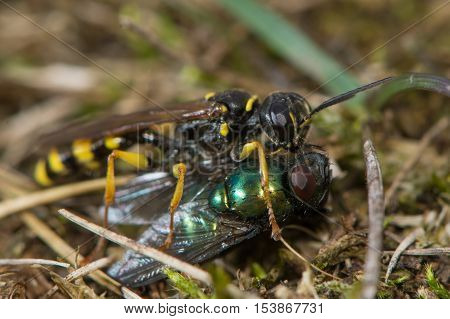 Field digger wasp (Mellinus arvensis) with fly prey. A common digger wasp in the family Crabronidae with paralysed fly to be carried to provision future young