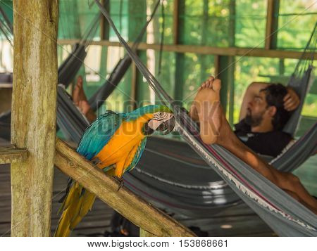 Palmari Brazil - May 09 2016: Beautiful blue and yellow parrot (macaw) in the jungle.