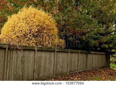 Yellow Foliage Behind A Weathered Fence