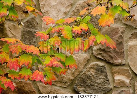 Transition From Red To Green In Maple Foliage