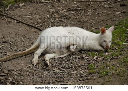 the white albino kangaroo is resting on the grass with her joey in her pouch