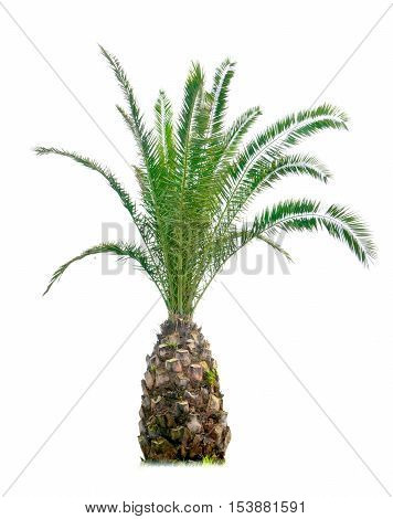 In a white isolated background of a vibrant cycads.