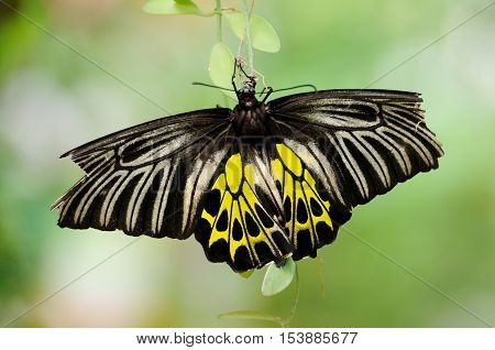 Common Birdwing with blur background in butterfly farm