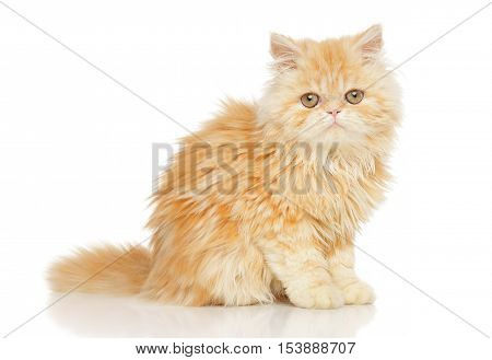 Young Persian Cat