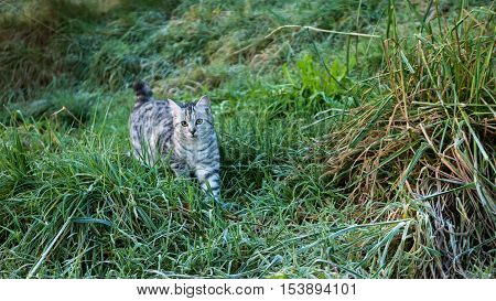 A grey tabby walking through a green field