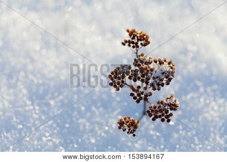 Dry plant in snow on a frosty sunny day in winter.