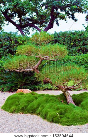Manicured Pine Tree beside raked sand taken in a Zen Meditation Garden