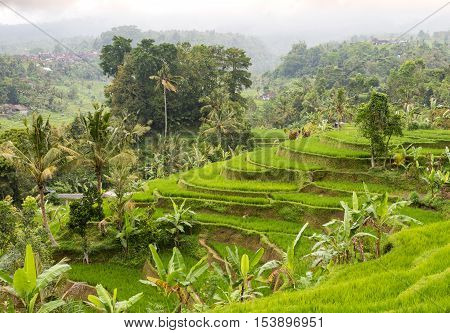Rice terraces and coconut palms on a rainy day in Jatiluwih in Central Bali, Indonesia.