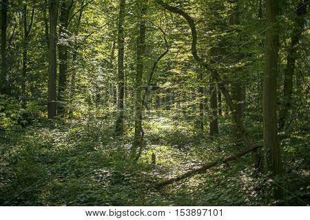 Summer forest in dappled sunlight. Winterswijk. Achterhoek. Gelderland. The Netherlands.
