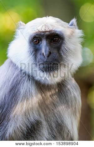 in a large park there is a Hanuman langur