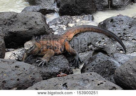 A Galapagos Marine Iguana resting on lava rocks, amblyrhynchus cristatus