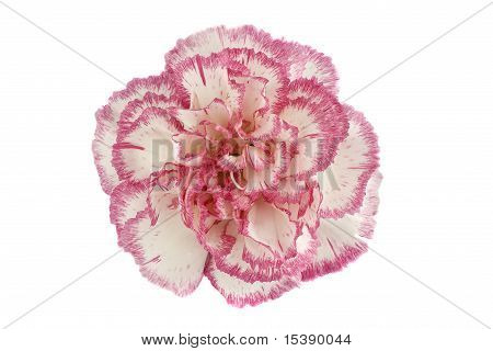 Pink Carnation Flower Head On White Background