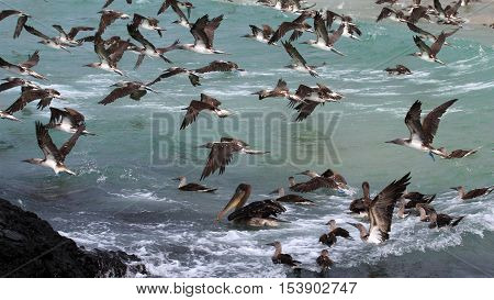 Hundreds of blue footed boobies flying and fishing, Galapagos, Ecuador