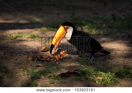 Toco Toucan Eating Papaya In Dappled Sunlight