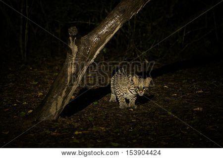 Ocelot Crouching Under Dead Tree At Night