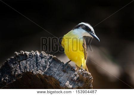 Lesser Kiskadee Perched On Log Turning Head