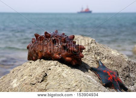 Sea cucumbers, or sea pods (Holothuroidea) is class of invertebrates such as echinoderms. Species used for food Cucumaria are collectively called