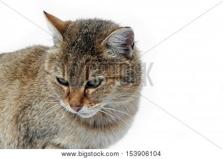 Muzzle of a cat on a white background. Tiger wild cat in the snow. Beautiful animals with us.