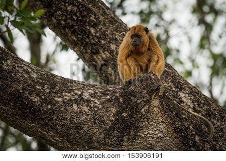 Female Black Howler Monkey Sitting In Tree