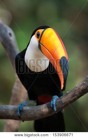 Close-up Of Toco Toucan Perched On Branch