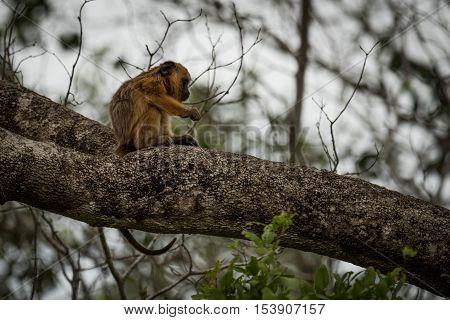Baby Black Howler Monkey Sitting On Branch