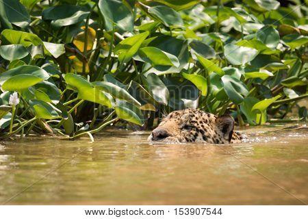 Jaguar Swimming In River Beside Water Hyacinths