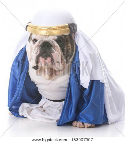 bulldog wearing a sheik costume isolated on white background