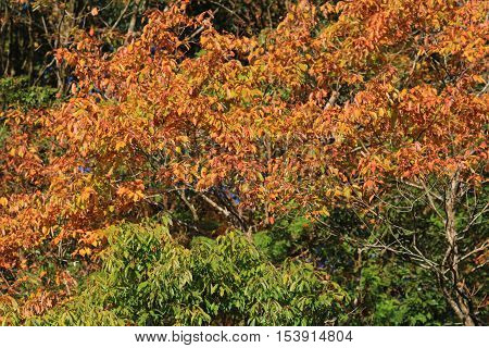 a red japanese maple autumn fall 2014