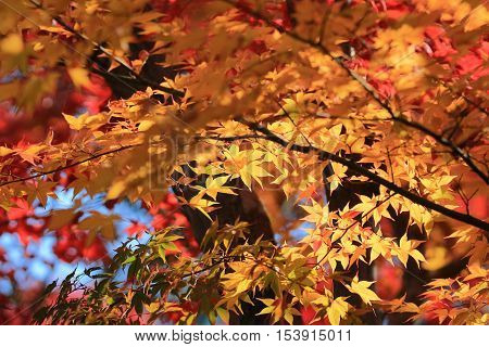an Autumn Leaves Of Adashino Nenbutsu ji