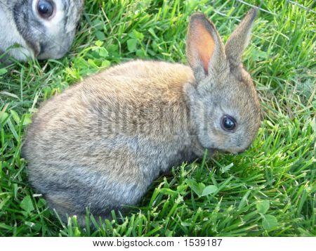 Grey Brown Baby Rabbit