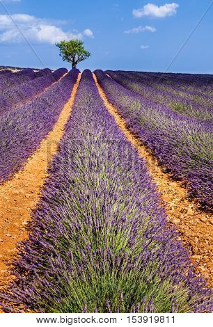 Lavender fields in Valensole with olive trees. Summer in Alpes de Hautes Provence, Southern French Alps, France