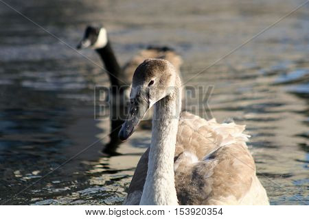 A Mute Swan cygnet swimming with a canada goose close behind
