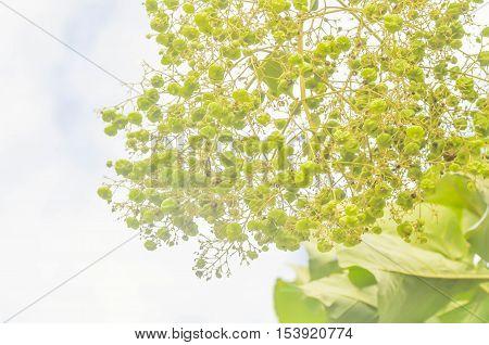 teak seed or teak tree and sky background