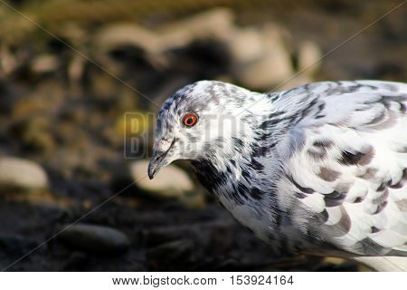 A black and white pied feral pigeon