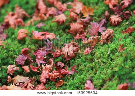 a Beautiful red leaves fallen from aspen lie on the Moss
