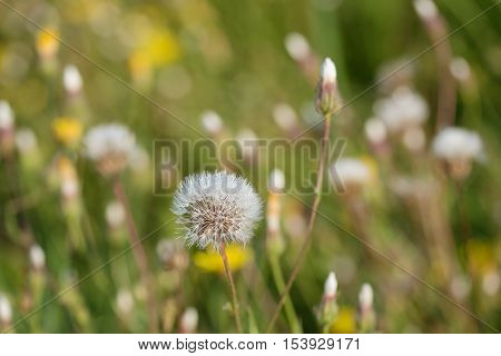 Closeup Photo Of Dandelion Seeds