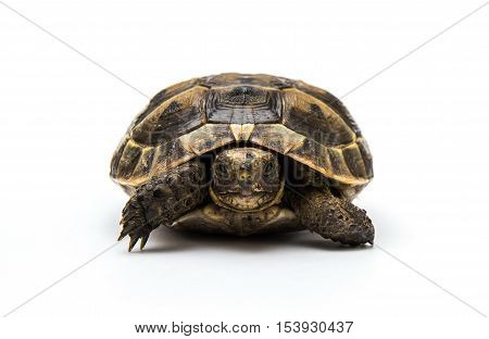 Turtle on a white background. Small reptile