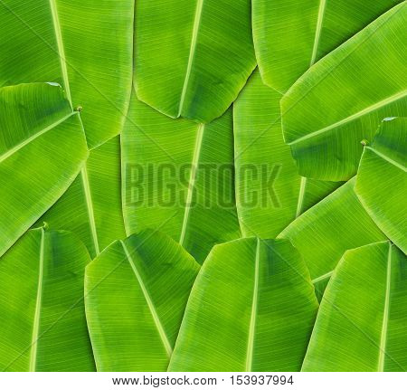 banana leaf background. banana leaf in Thailand. banana leaf