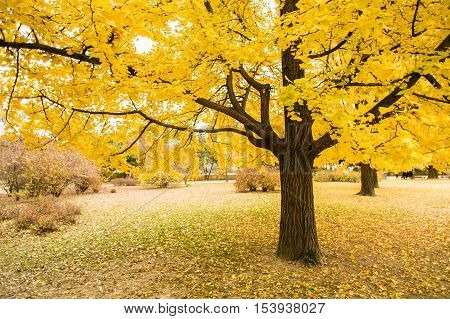 Golden leaves of gingko trees . South Korea