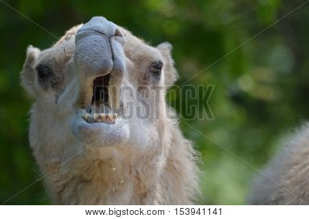 Camel standing with his mouth open showing his teeth.
