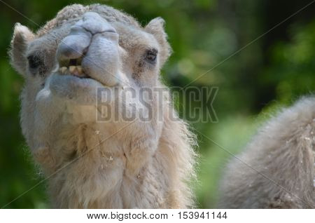 Camel showing his teeth as he chews.