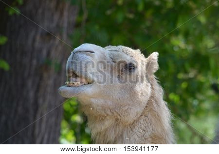 Silly camel sticking his tongue out of his mouth