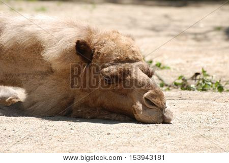 Adorable camel sound asleep in the warm sunshine.