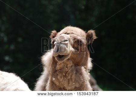 Shaggy furred camel with a thick coat.