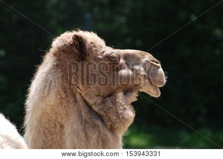 Side view and profile of a bactrian camel.