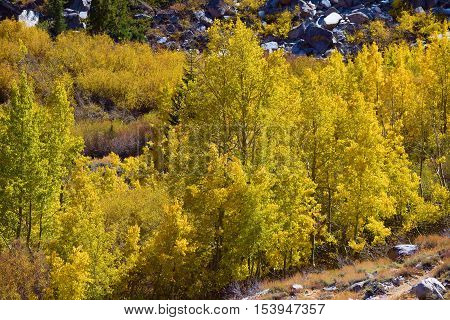 Quaking Aspen Trees changing colors during autumn foliage taken in the Sierra Nevada Mountains, CA
