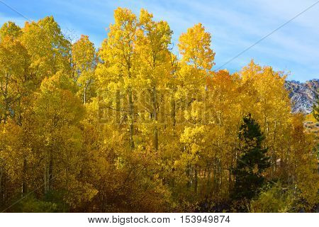 Quaking Aspen Tree leaves changing colors during autumn foliage taken in the Sierra Nevada Mountains, CA