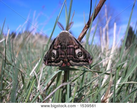 Saturnia (Eudia) Pavoniella
