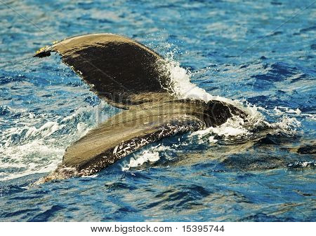 Whale Submerging